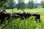 kkkk,büffel.Image00004