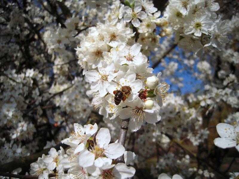 Biene auf Blüte.1